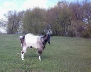 предлагаю племенного козла для случки